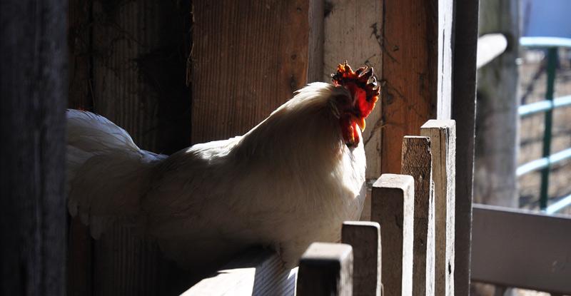 Chicken with frostbite