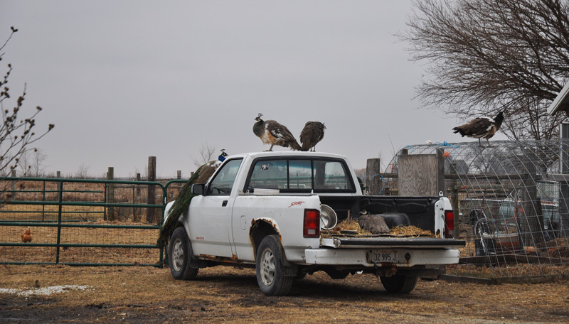 peafowl on truck