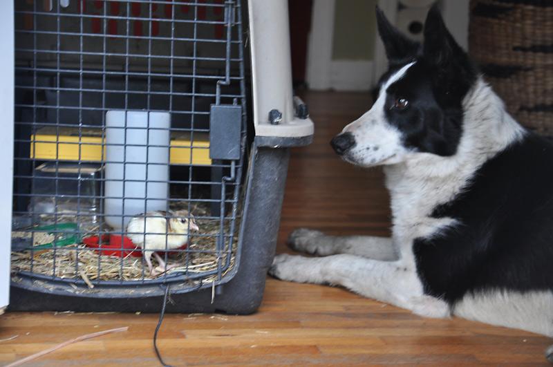 dog watching peachick