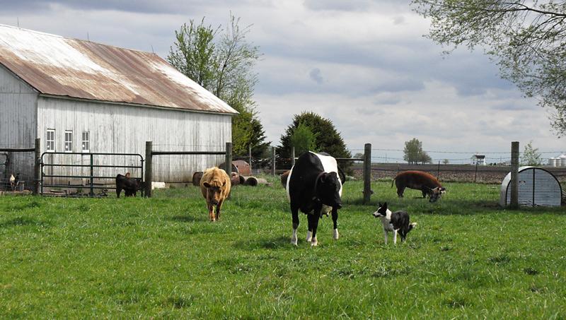 cows8