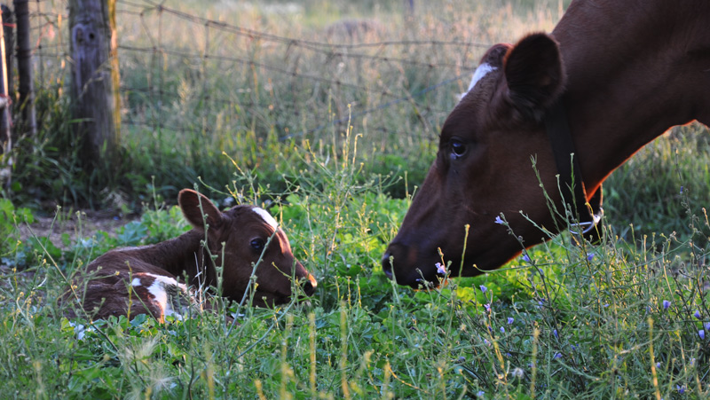 cow and calf9