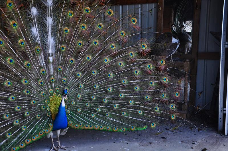 peacock - mr flowers