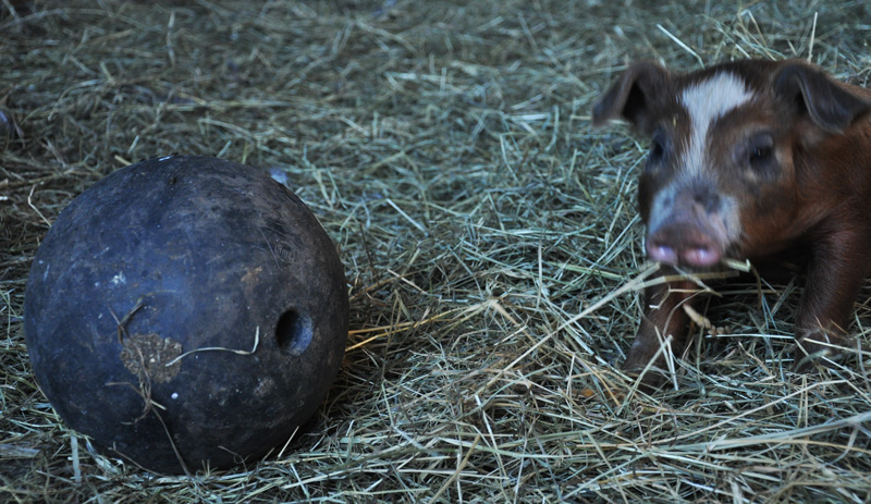 piglet and ball
