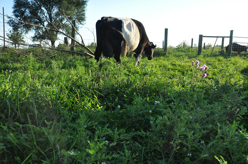 cow and thistles