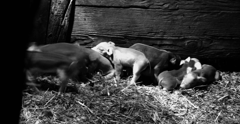 day old piglets