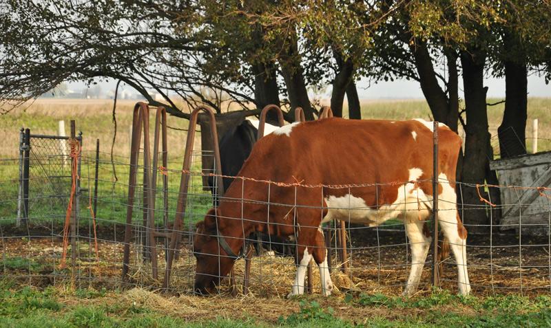 cowws