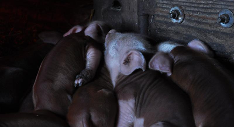 pigs foot