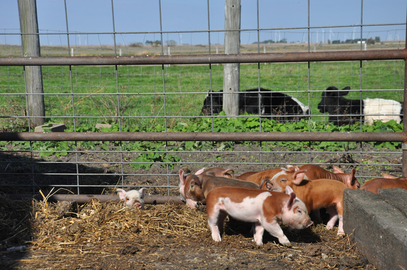 piglets and cows