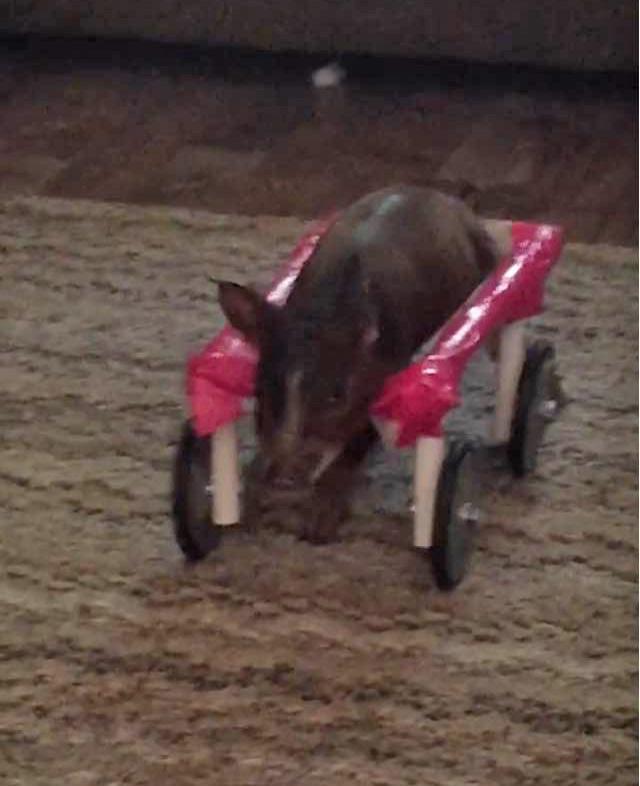 piglet in wheelchair