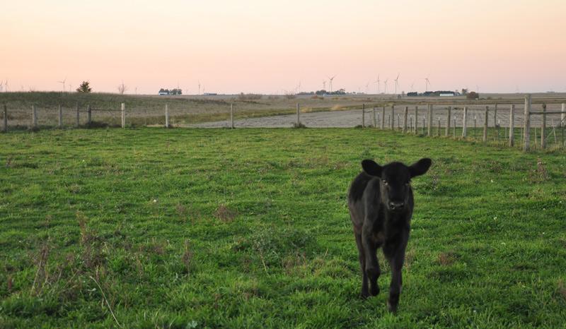 tia - calf