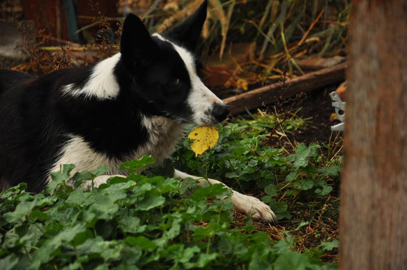 dog and leaf