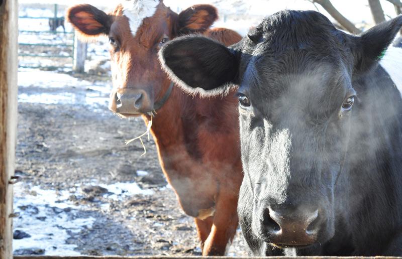 cows87