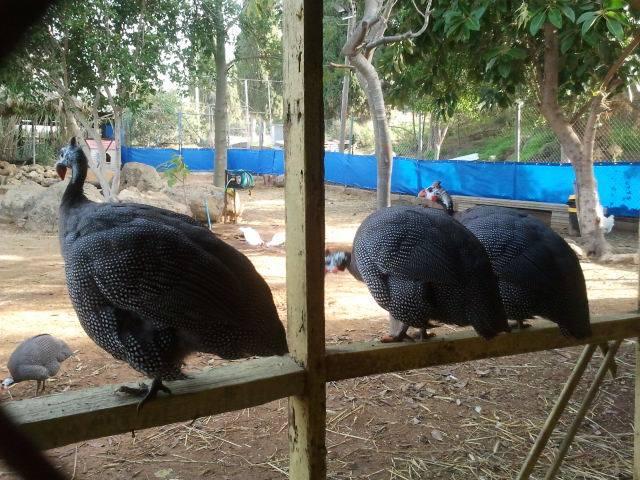 5-guinea-fowl