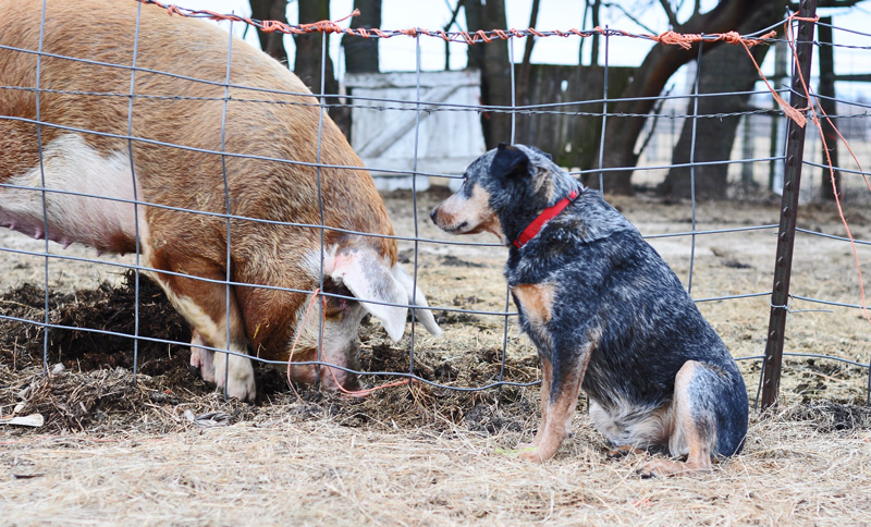 dog and pig