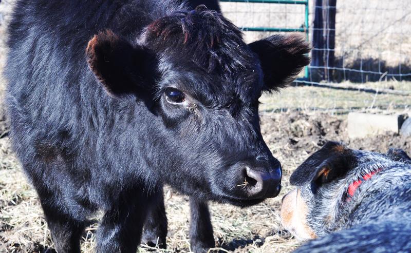 calf and dog
