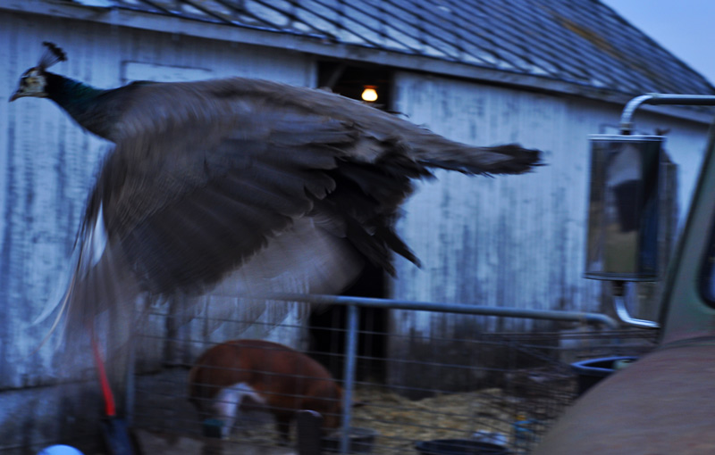 flying peahen