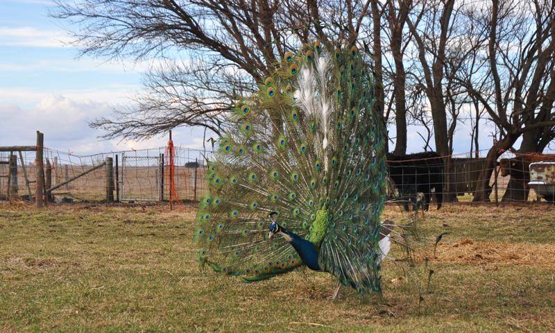 mr flowers -peacock