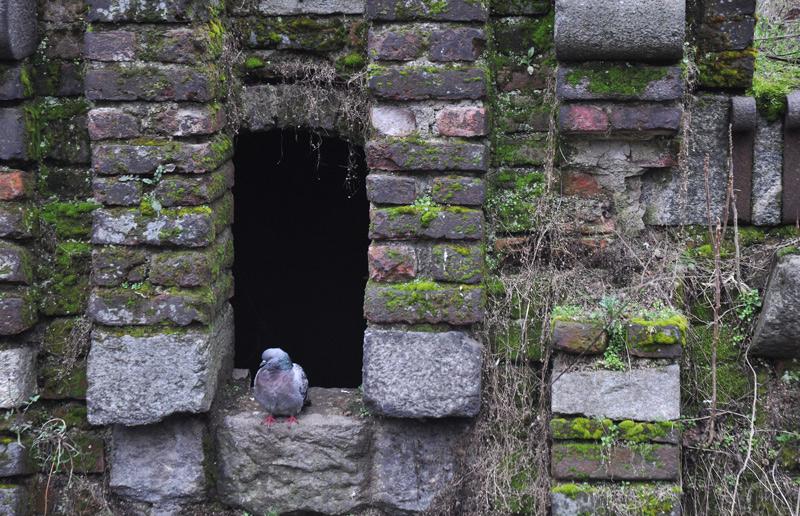 pigeon in castle