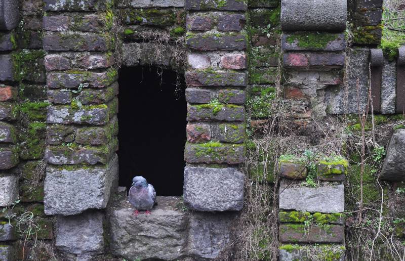 pigeon in castle