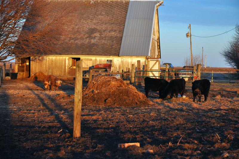 calves and pig