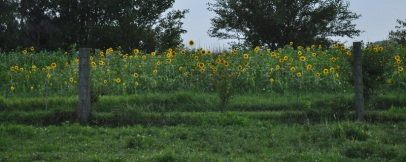 sunnflowers