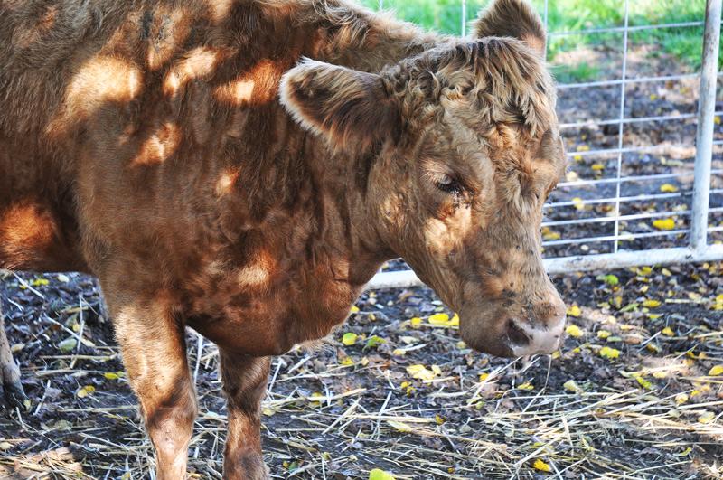 baby-bull-016