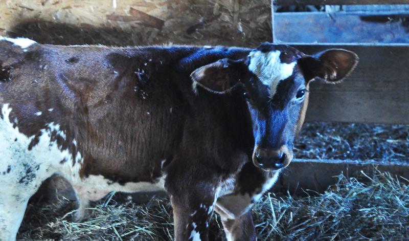 baby-bull-043