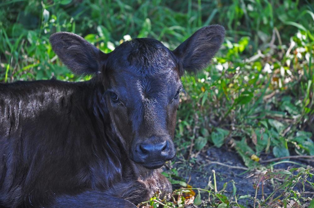 calf-015
