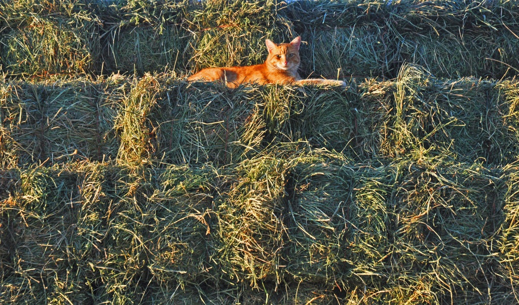 hay-and-cat-006