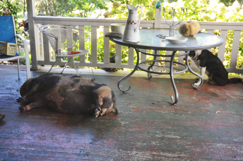pig-on-the-porch-001