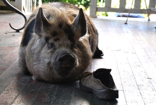 pig-on-the-porch-012