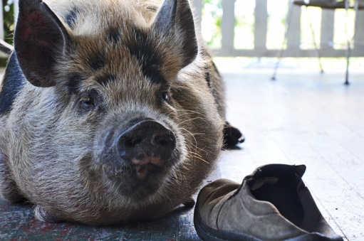 pig-on-the-porch-016