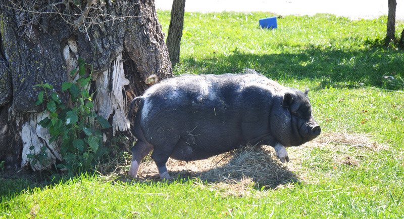 pig-on-the-porch-019