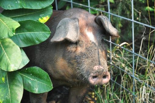 pigs-007