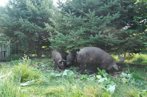 pigs-016