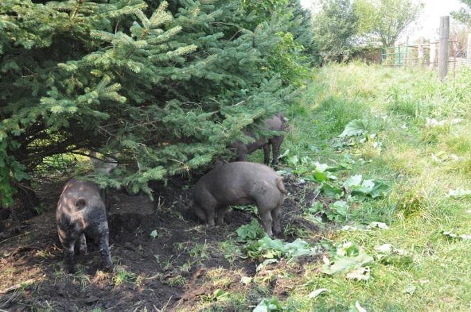 pigs-023