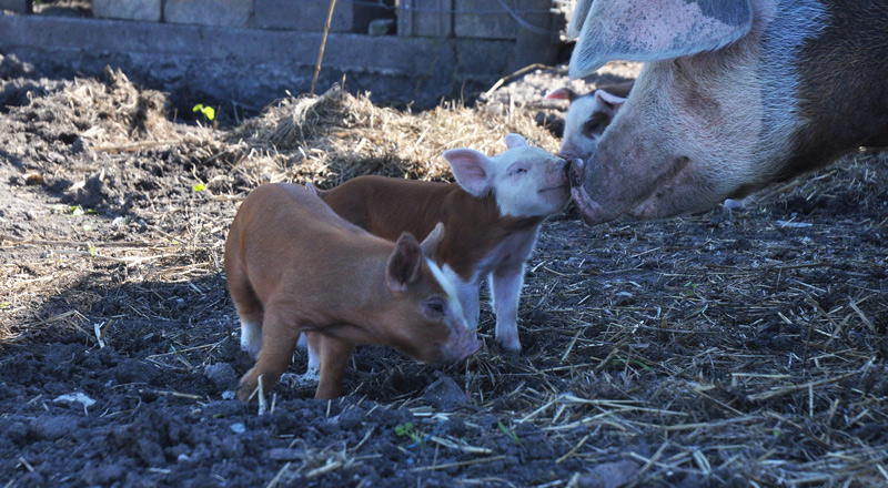 ton-and-piglets-010