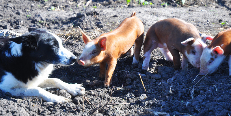 ton-and-piglets-017