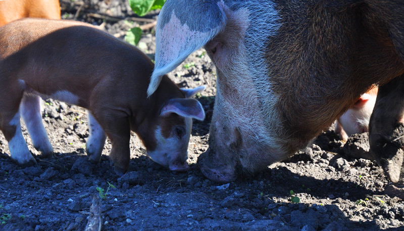 ton-and-piglets-045