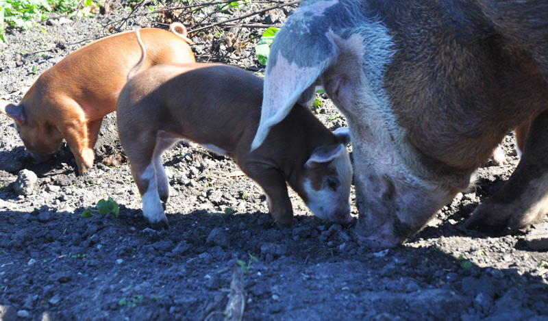 ton-and-piglets-047
