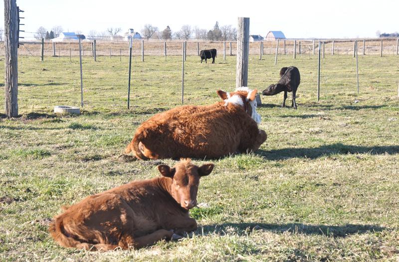 cows-002