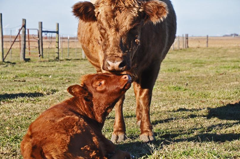 cows-013