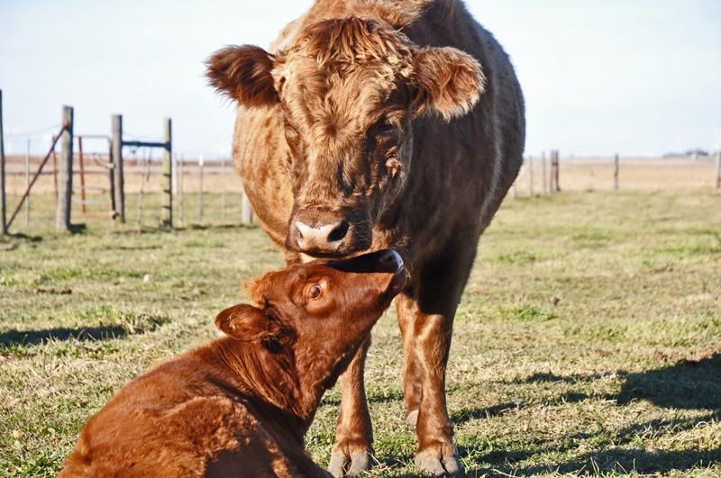 cows-015