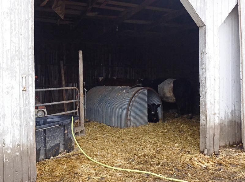 cows-005