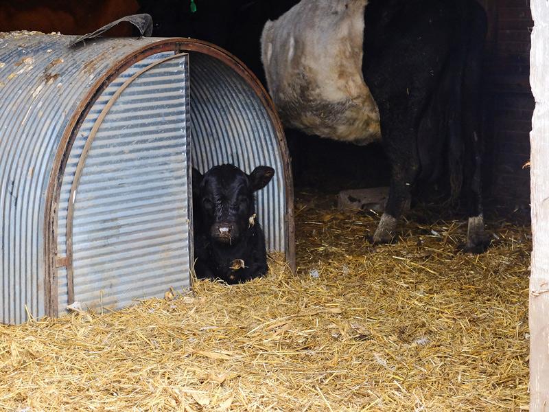 cows-008