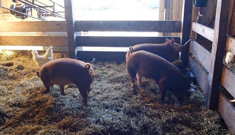 pigs-008