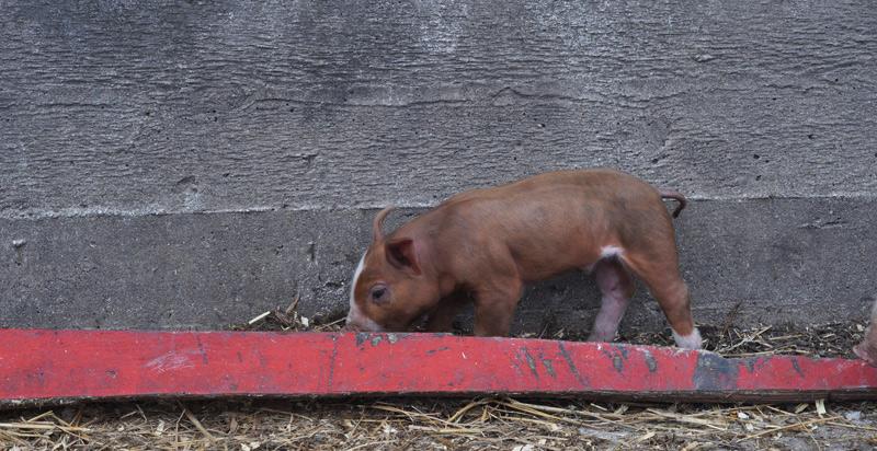 piglets-016